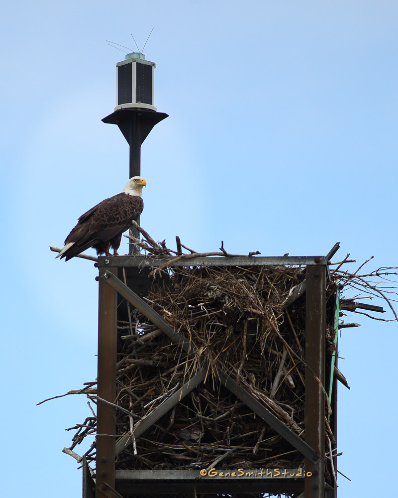 American Bald Eagle guards his nest and scans Delaware Bay for dinner for his family